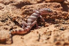 Western Banded Gecko (S_Crews) Tags: reptile nevada lizard gecko herp mojavedesert valleyoffirestatepark clarkcounty squamate gekkonidae westernbandedgecko coleonyx coleonyxvariegatus eublepharinae