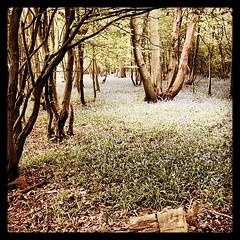 happydays #day100 #finished #madeit New location... (Monkey Shoveler) Tags: finished bluebell day100 madeit 100happydays uploaded:by=flickstagram instagram:photo=7088502373494820694277738
