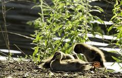yoga for mallard chicks-5632 (recycled again) Tags: yoga virginia pond calming chicks mallard mallards loudoncounty wildlifewednesday copyright2014bkavanagh