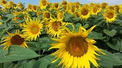 Girasoli (rivieradirimini) Tags: flowers holiday countryside estate campagna sunflowers fiori sole vacanze emiliaromagna girasoli romagna