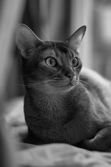 Luke (MorboKat) Tags: portrait pet nature monochrome animal cat mammal feline usual abyssinian malecat domesticcat felis purebred ruddy felidae felissilvestriscatus feliscatus purebredcat ruddyabyssinian usualabyssinian maleabyssinian