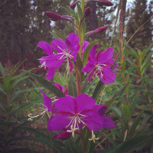 Fireweed, the official flower of #Yukon, is one of the first plants to appear after a forest fire.