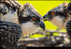 MD Osprey Chicks 2014 (Nikographer [Jon]) Tags: summer bird nature birds june md nikon wildlife maryland osprey jun pandionhaliaetus 2014 pandion haliaetus nikographer 20140628d4128527