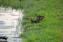 mother and baby ducklings (ashlyn.maria) Tags: family baby lake cute mom duck mother adorable ducks ducklings