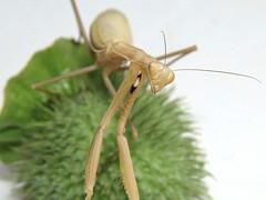 Mantis on Datura fruit (Rolf Brecher) Tags: macro mantis insekten bulgarien gottesanbeterin