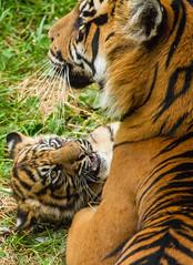 Sumatran Tiger Cub - Flamingo Land June 2014 (patrick-walker) Tags: canon eos cub yorkshire tiger north patrick walker 7d sumatran flamingoland canon7d