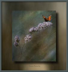 Summer (tuffgrass 63 Back Now.) Tags: summer texture butterfly frame grasses summertime grassland
