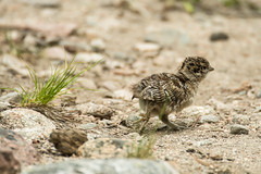 Blue Grouse Chick