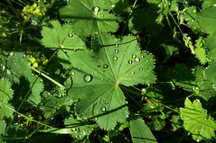 walking in the morning (Rosmarie Voegtli) Tags: leaves switzerland droplets drops tau bltter wallis simplon