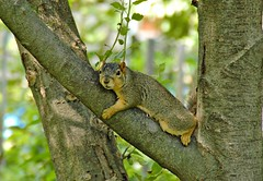 Nap time for my squirrel (NgoPhotographyPlz) Tags: red tree america squirrel nap north rest
