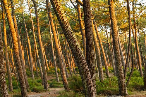 Pine forest in twilight