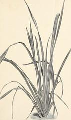 Anglų lietuvių žodynas. Žodis manila grass reiškia manila žolės lietuviškai.