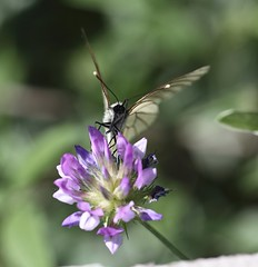 Black-veined White (Aporia crateigi) (iainrmacaulay) Tags: white france aporia crataegi blackveined