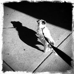 summer hill (AS500) Tags: camera summer blackandwhite dog west hill sydney retro inner millie