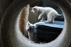 circle (greenelent) Tags: nyc cats cute animal brooklyn kitten photoaday 365 catphotography