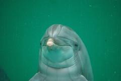 DSC_0324 (Robin DV) Tags: ocean california sea france zoo harbor marine harbour dolphin lion seal killer dolphins whale orca aquatic morgan duisburg mammals dauphin dolphinarium dolfinarium harderwijk marineland loro munster dolfijn californian porpoise otarie bottlenose delphin baleine steller oceanic cetaceans cetacean delfine orcinus tursiops truncatus cetacea parqu tenerfe phocoena marsioun