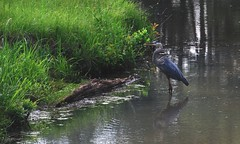 Blue Egret (Madmelodist  Productions) Tags: ocean lake water birds forest outdoors stream wildlife egret