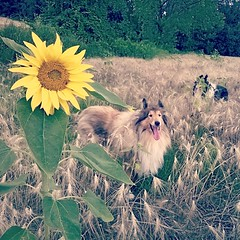 3 flowers (Mio) Tags: dog pet black dogs nature field cane square collie candy sierra squareformat lassie hermione iphoneography hermio instagramapp uploaded:by=instagram