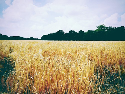 This rather unexpected field of wheat is by alexlomas, on Flickr