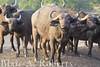 Buffalo Gang (blair_costelloe) Tags: africa animal buffalo kenya wildlife safari ungulate herd bigfive synceruscaffer africanbuffalo olpejetaconservancy