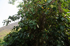 Poikilospermum suaveolens (Urticaceae) (JohannesLundberg) Tags: expedition asia location vietnam research plantae botany exploration biology laocai vn rosales souteastasia nationalgeographics urticaceae magnoliophyta magnoliopsida republicofvietnam rosids tracheophyta taxonomy:class=magnoliopsida taxonomy:order=rosales poikilospermum taxonomy:kingdom=plantae taxonomy:family=urticaceae urticeae taxonomy:phylum=magnoliophyta taxonomy:species=suaveolens taxonomy:binomial=poikilospermumsuaveolens taxonomy:genus=poikilospermum taxonomy:superphylum=tracheophyta poikilospermumsuaveolens