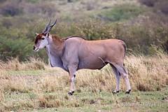 Masai Mara - Eland (Rolandito.) Tags: africa kenya safari mara afrika kenia masai eland oryx masia taurotragus