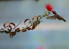 Hummingbird In Flight (KellarW) Tags: arizona hummingbird rubythroated canon5diii