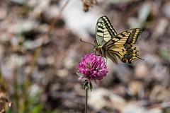 Schwalbenschwanz (bohnengarten) Tags: world old mountain alps butterfly eos schweiz switzerland tour swiss alpen wallis swallowtail wwf valais schmetterling zeneggen papilio schwalbenschwanz machaon 50d visp
