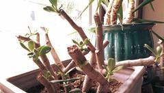 New Life (Kenneth Wesley Earley) Tags: succulent spokane pottedplant jade jadeplant fungus healing infection heal treatment spokanewa moneytree newgrowth makingacomeback 99205