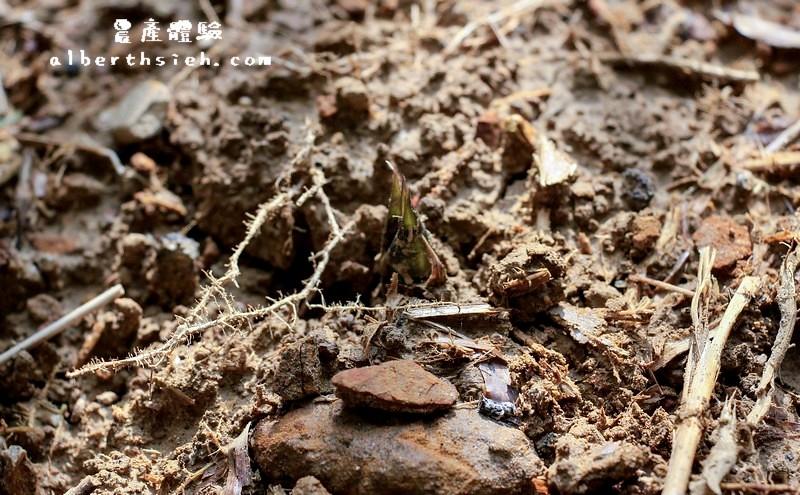 【農產體驗】桃園大溪.新峰社區(鮮脆甜美的綠竹筍)