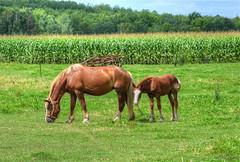 Broodmare and Foal (newagecrap) Tags: horses horse wisconsin rural rustic foal nikond3200 clarkcounty broodmare amishcommunity yorkwisconsin graftonwisconsin amishhorses newagecrapphotography clarkcountywisconsin august2014 broodmareandfoal catlinave lynnwisconsin