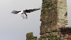 2014_8 (Photo Passion 50) Tags: de la rivire normandie chateau animaux marais paysages oiseaux cigogne normandes