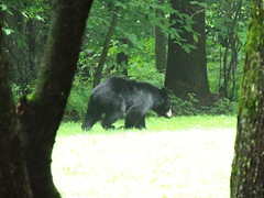Hungry Black Bear (Jim Mullhaupt) Tags: bear nature animal dumpster woods nikon flickr pennsylvania wildlife coolpix campground deepwood blackbear scandia warrenpa p510 russellpa