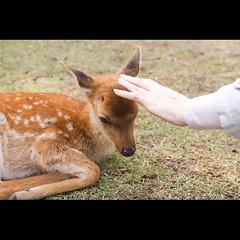 (Masahiro Makino) Tags: japan photoshop canon eos deer fawn adobe  nara lightroom   60d 20131105131958canoneos60dls640p