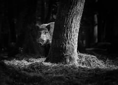 Boar (bernd obervossbeck) Tags: blackandwhite bw tree animal forest schwarzweiss wald boar baum rinde tier wildschwein schwarzweis canonef70200f4lusm hoghair canoneos60d schweineborsten