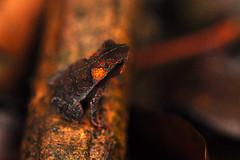 Floresta Nacional de Carajás (Junglenews) Tags: amazon frogs uc amphibians sapos pará amazonia carajás amphibia parauapebas anfíbios anurans anuros unidadesdeconservação florestanacionaldecarajás conservationunits