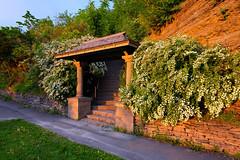 Summer Warmth (Dan Haug) Tags: xf14mmf28r xt1 fujifilm ottawa rockcliffe park spirea rosaceae sun sunset stairs arch explore explored