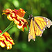 """Monarch in Light • <a style=""""font-size:0.8em;"""" href=""""http://www.flickr.com/photos/19172780@N00/14937194610/"""" target=""""_blank"""">View on Flickr</a>"""