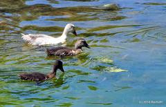 DSC_0335 (rachidH) Tags: sea lake birds geese mediterranean hellas ducks goose greece waterfowl kefalonia canard oiseaux muscovy oie karavomylos rachidh melissany
