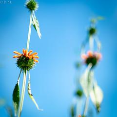 DSCF5128 (Patrick Mouret) Tags: flowers fujixpro1 fujinonxf56mmf12r