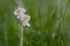 Anacamptis papilionacea var. nivea (Giovanni Caddeo) Tags: wildlife naturalmente butterflyorchid defendersofwildlife earthhour anacamptispapilionacea nginationalgeographicbyitalianpeople totalphotoshop floraefaunadellasardegna orchideafarfalla nikond7000 nikonclubit meyergörlitztrioplan100f28 anacamptispapilionaceavarnivea