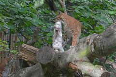 Europäische Luchse im Zoo Duisburg (Ulli J.) Tags: germany deutschland zoo nrw duisburg tyskland allemagne nordrheinwestfalen duitsland eurasianlynx eurasischerluchs nordluchs euraziatischelynx lynxdeurasie lynxcommun lynxboréal loupcervier europæisklos