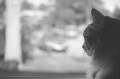 Watcher (flashfix) Tags: portrait ontario canada window monochrome cat fur nose backyard nikon feline bokeh ottawa watching kitty ears meow curious 40mm focused teemu attentive supervisor mumu 2014 foreman watchful softexposure d7000 nikond7000 2014inphotos august252014