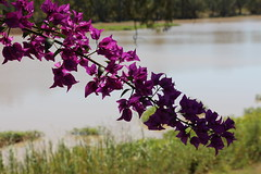 In Bloom by the Balonne (Lason243) Tags: bridge qld outback stgeorge balonne