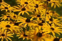 Au jardin (Seix/Arige) (PierreG_09) Tags: fleur plante flor jardin rudbeckia flore pyrnes pirineos rudbeckie arige seix couserans