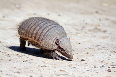 Big Hairy Armadillo, no that's really its name (estenard) Tags: argentina armadillo chaetophractusvillosus hairyarmadillo