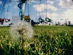 11:11am (yurFrìeñd) Tags: life carnival wild flower love photography losangeles crazy dandelion kind wish humble makeawish lostartist yvrfriend