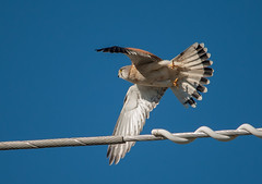 nankeen kestrel (Falco cenchroides)-3 (rawshorty) Tags: birds australia canberra act jerrabomberrawetlands rawshorty