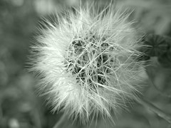 Dandelion Dream (Black and White version) (Ana Puzar) Tags: cameraphone flowers flower macro nature mobile closeup photography nokia photo flora dandelion smartphone dandelions macrophotography carlzeiss lumia mobilephotography pureview l920 nokialumia nokialumia920 lumia920 lumiagraphy 4blendshdr