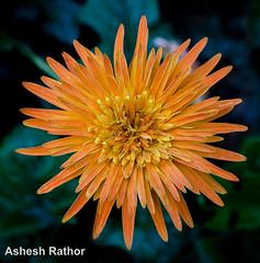 Gerbera (asheshr) Tags: orange flower gerbera orangeflower orangegerbera